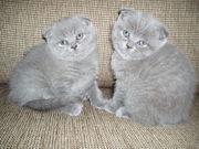 Шотландские   вислоухие котята продам.