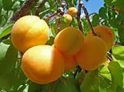 Работники на сбор персика ,  абрикоса и др. фруктов в Крым