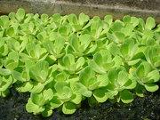 Водяной салат (пистия)