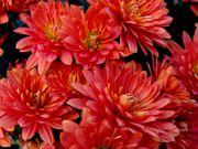 Продаю черенки хризантем