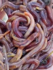 Куплю рыболовного червя