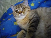 Котик шотландец