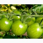 Продам зеленый помидор Опт