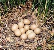 Инкубационные яйца охотничьих и декоративных фазанов